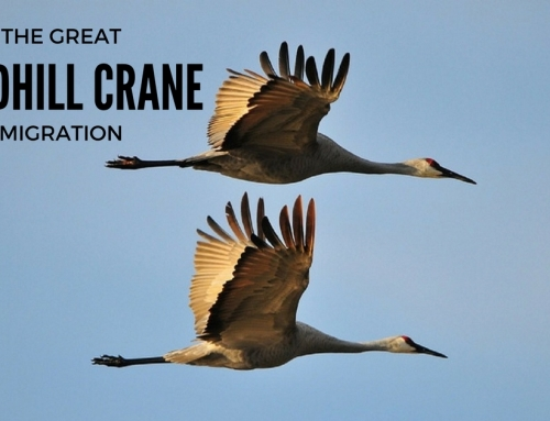 The Great Sandhill Crane Migration: A Guest Post by Dana Hanley